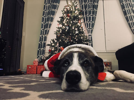 Roxie waiting for Christmas