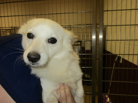 American Eskimo mix! 2YO, adorable smallie at Seminole Co. Animal Services