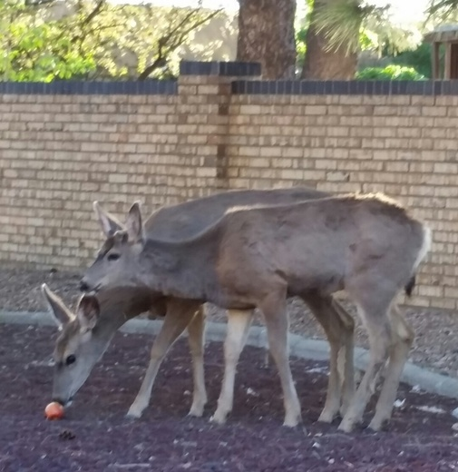 Rudolph the red nosed mule deer had a very shiny nose!