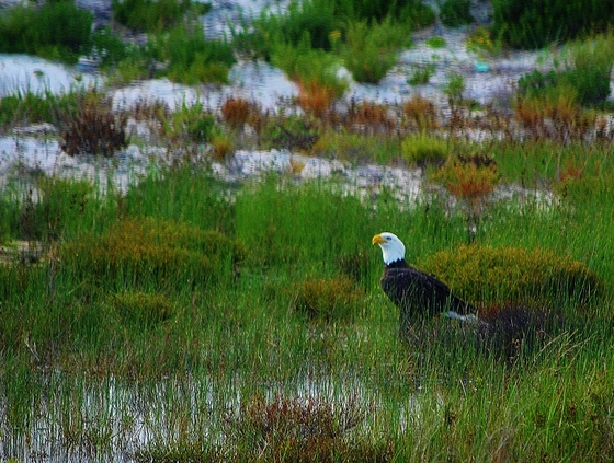 Bald Eagle in the Dunes at St George