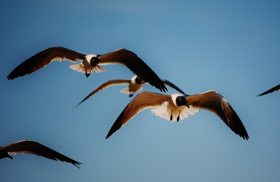 Laughing Gulls at Bald Point