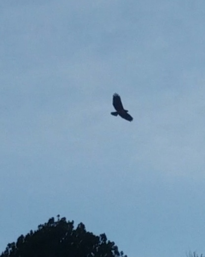 Hawk soaring over the mountainside