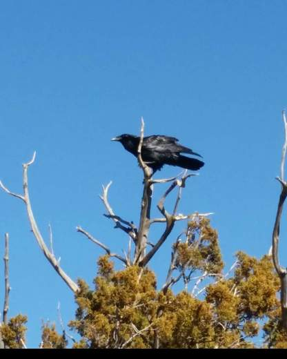 Crow on top of the tree