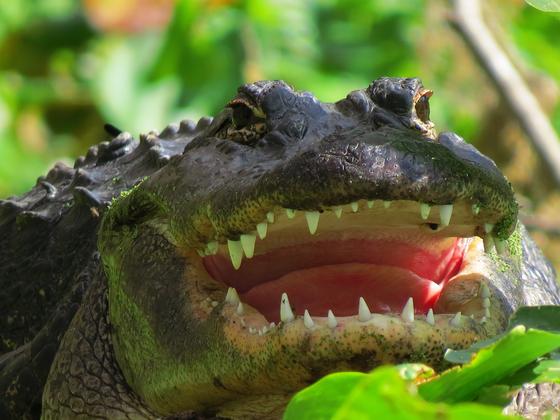 Gator game face