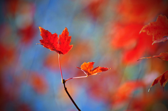 Red Maple Leafs and Blue sky's