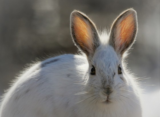 Backlight Snowshoe Hare