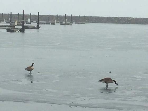 Canada Geese on Lake Erie