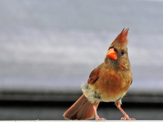 Gorgeous Lady Cardinal
