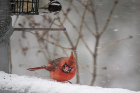 Windblown Cardinal