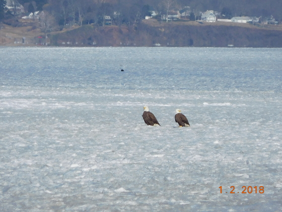 pair of bald eagles was taken off the eastern shore of the Chesapeake Bay