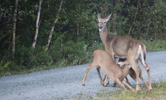 Mommy feeding her little ones.