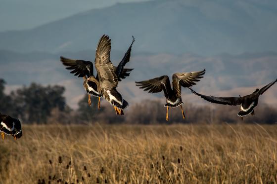 Ducks Take Flight