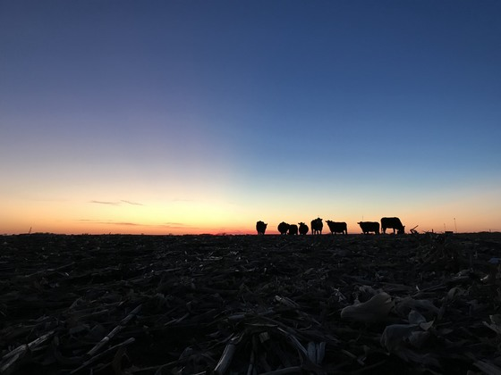 Cattle in the Sunset-uLocal Photo Submission
