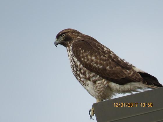 Hawk on streetlight