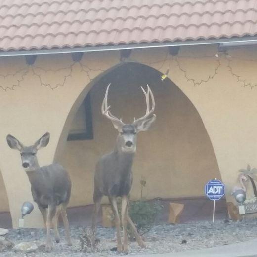 Deer couple strolling through the neighborhood