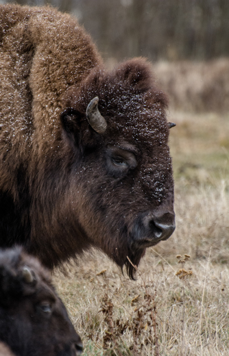 Mama Bison