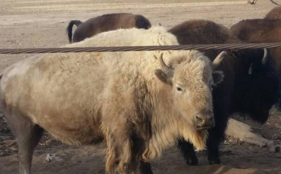 White buffalo at Isleta