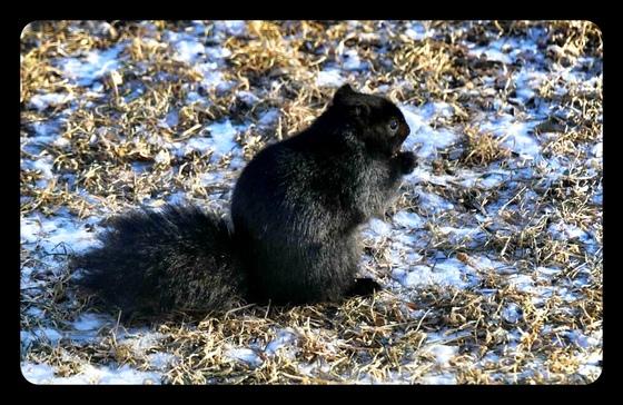 Black Squirrel enjoying our backyard