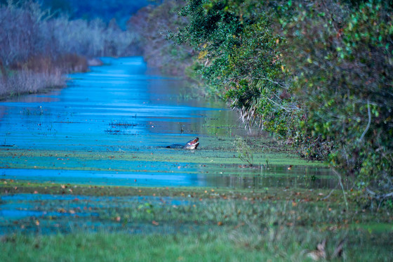 Papa Gator Guards Cone's Dike Trail