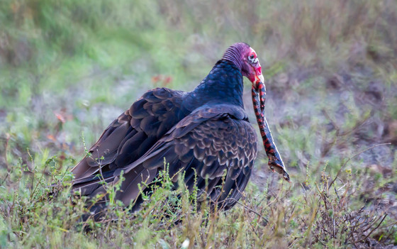 Vulture with Eastern Mud Snake