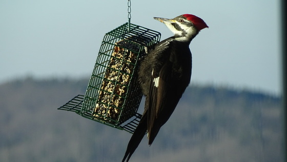 Our woodpecker comes each day.  Beautiful big guy!