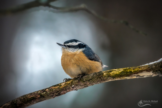 3a. Red breasted nuthatch
