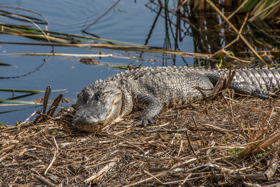 Gator_at Kissimmee_Prairie_Preserve_State_Park