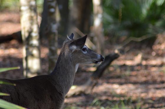 Manatee Springs Deer
