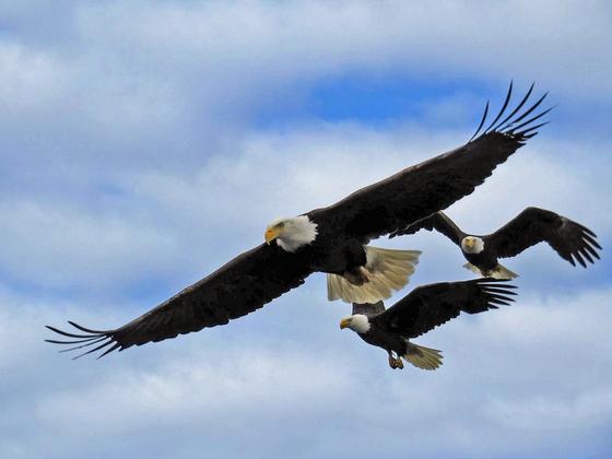 Eagle Trio