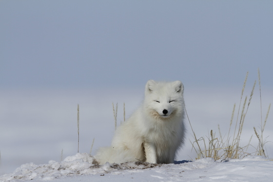 Arctic fox waking up from a nap