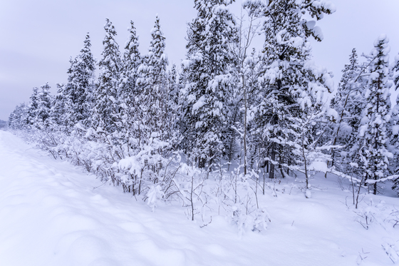 Trees covered in heavy snow
