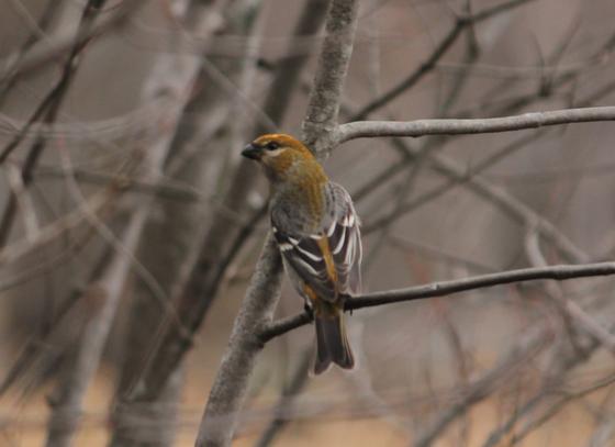 Pine Grose Beak