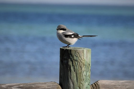 Loggerhead Shrike at the Beach