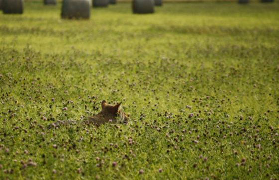 coyote  in the clover