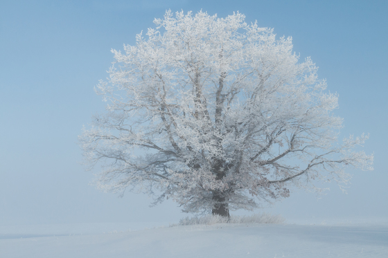 Frosty Tree in morning Light and Fog