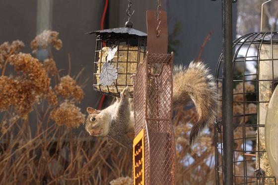 Squirrel at the bird's suet feeder