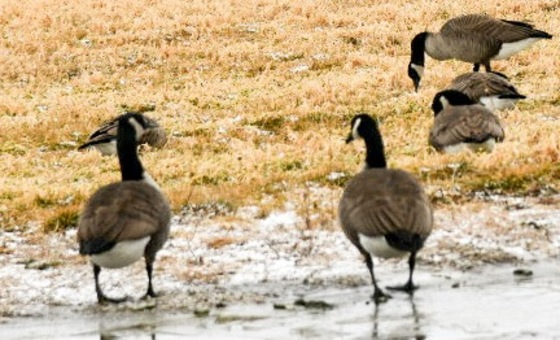 Geese in ankeny