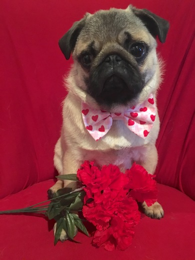 Pumpkin the Pug wishes everyone a Happy Valentine's Day!