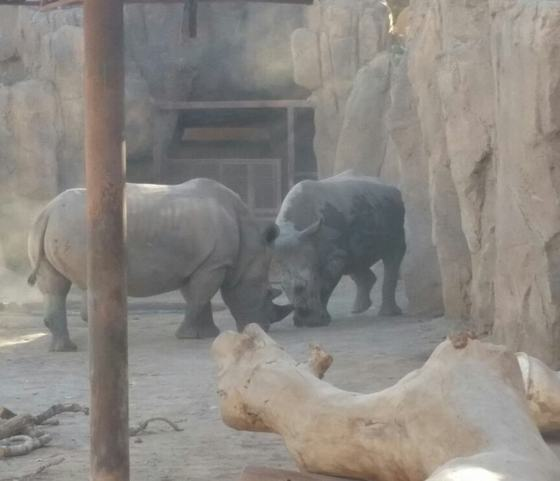 Rhinos fighting now that's something you don't see everyday