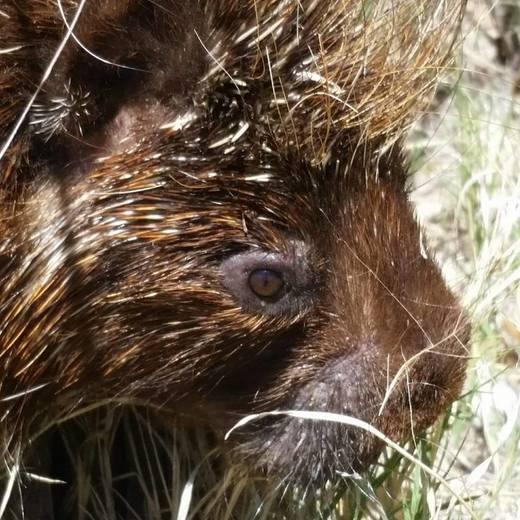 Porcupine face closeup