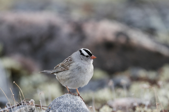 Close-up of a white-crowned sparrow