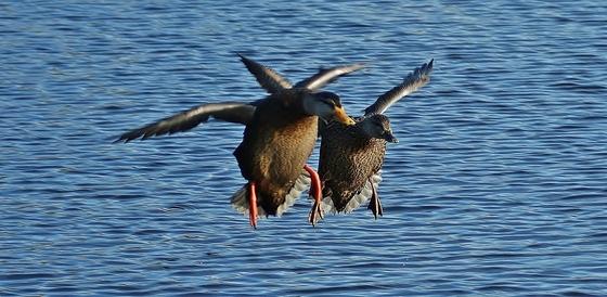 Ducks On Final