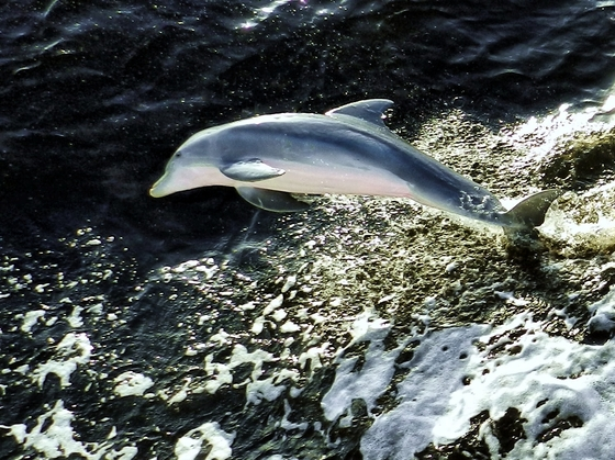 Dolphins Play in Cayo Costa Waters