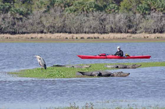 A bird, a kayaker and a half dozen gators...