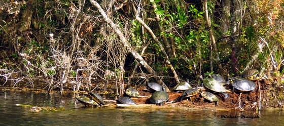 Wakulla Springs Turtle log jam