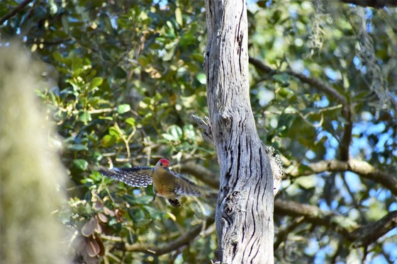 Red Bellied Woodpecker in Flight