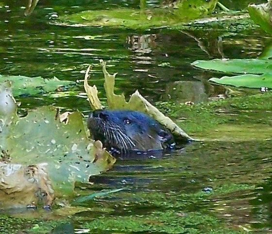 Ravine's river otter