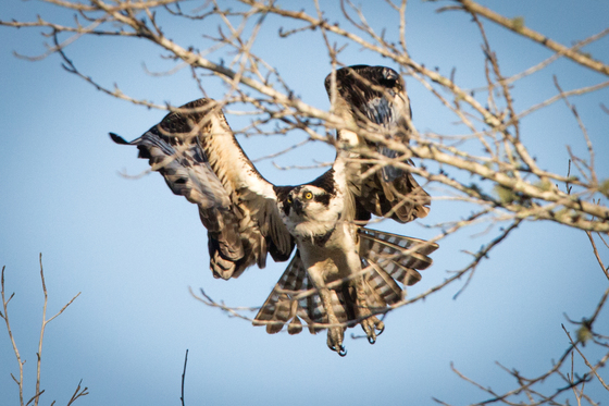 Osprey in Action!