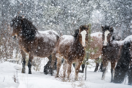 Wild Horses in a Snowstorm