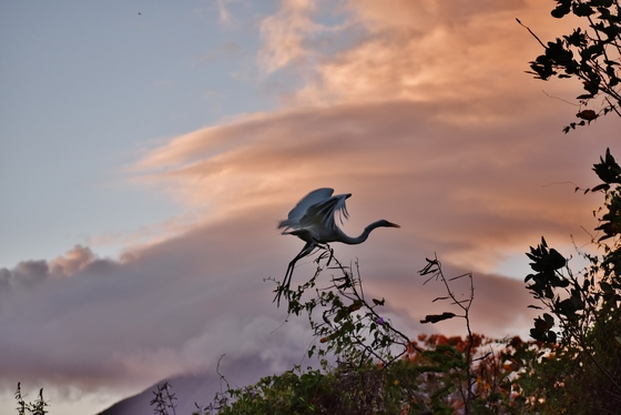 Great egret taking off into sunset clouds above Conception Volcano. Ometepe Island. Nicaragua.